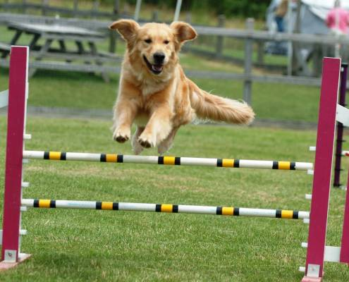 Golden Retriever Performing Agility Jump