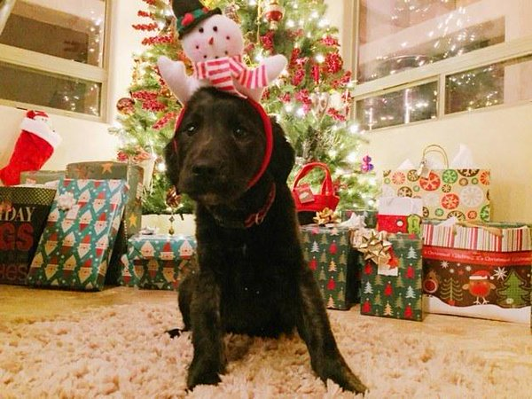 A Puppy For Christmas.Why A Puppy Under The Christmas Tree Is A Bad Idea Royal